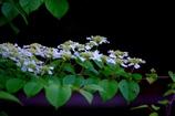 可憐な紫陽花 @白糸の滝の横