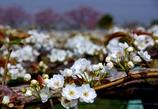 安城梨の花のカーテン バックは散り初め桜 #4