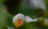 シャラの花 @我家のシンボルツリー