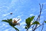 シャラの花と梅雨の合間の青空 @我家のシンボルツリー