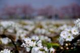 安城梨の花のカーテン バックは散り初め桜 #3