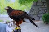 大阪城で出会った鷹さん @三都物語