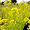 暖冬と言われていた頃の菜の花