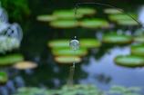 夏の定番 @デンパーク(オニバスの池)