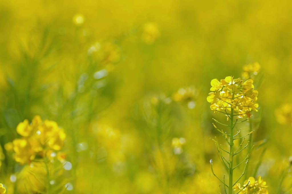 少し早い春 #1 @安城の菜の花畑