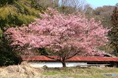 山あいの桜