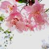 春よ来い 早く来い