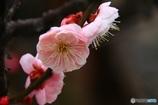 八重咲 梅