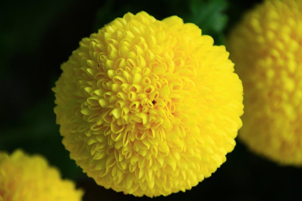 テニスボール みたいな 菊
