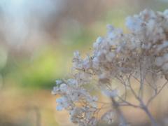 紫陽花〜風にゆられて〜