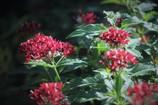ペンタス ガーデンに咲く