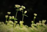 そばの花 #2