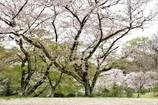 桜過ぎ去る時間