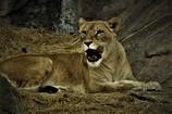 ライオン #2