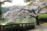 桜 名城公園2