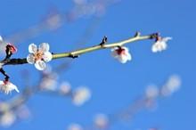 白い梅満開