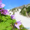 白馬大雪渓とシラネアオイ