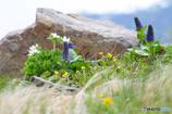 白馬岳のお花