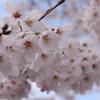 春が来ました!