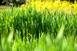 たちのぼる大麦