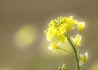 CANON Canon EOS 80Dで撮影した(春よ こい ♪)の写真(画像)