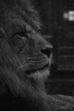 ライオンの横顔